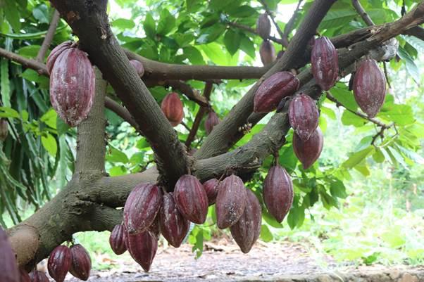 Cacao Châu Đức từng có thời kì hưng thịnh trước khi lâm vào khủng hoảng trong gần 10 năm.