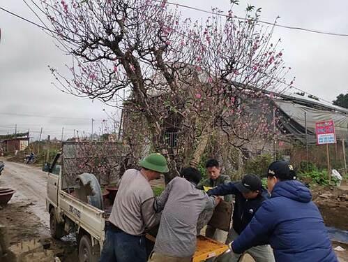 Các chủ vườn Nhật Tân tái sinh đào sau Tết