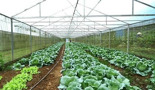 Rau được trồng theo hình thức luân canh, xen canh. Một số loại rau, củ, quả như su hào, bắp cải, dưa chuột... được trồng trong nhà màng với chế độ chăm sóc riêng.