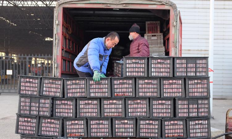 Người dân chất rau lên các xe tải ở thành phố Thọ Quang, tỉnh Sơn Đông, Trung Quốc. Ảnh: NY Times.
