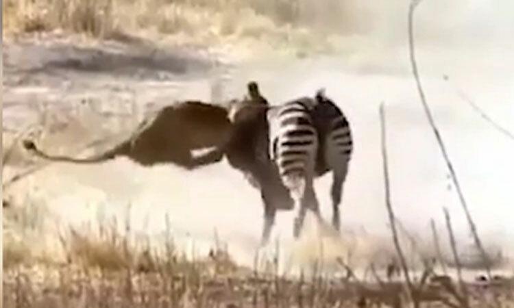 Sư tử bị ngựa vằn ''hành hạ'' -