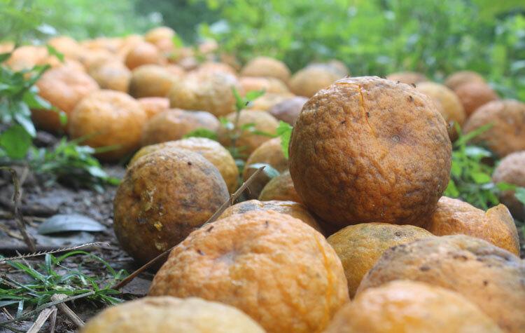 Số cam rụng đều đã chín, đang thu hoạch. Ảnh: Thái Mạc.