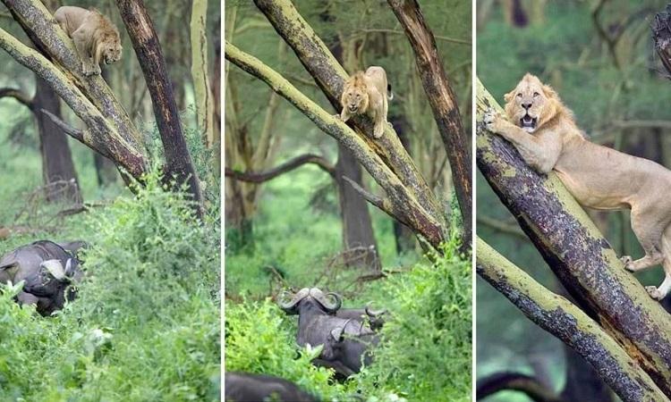 Sư tử tụt dần khỏi cành cây trong khi đàn trâu chăm chú theo dõi mọi cử động của nó. Ảnh: Caters News.