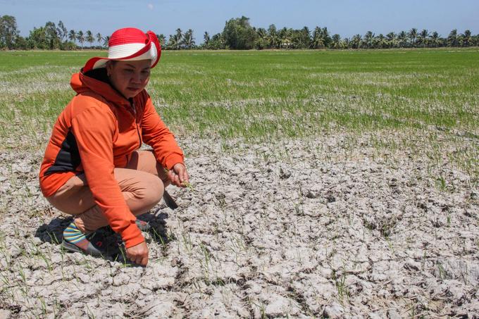 Bà Nguyễn Thị Nhiên (38 tuổi, huyện Long Phú, Sóc Trăng) trên cánh đồng ruộng lúa chết khô. Ảnh: Cửu Long.