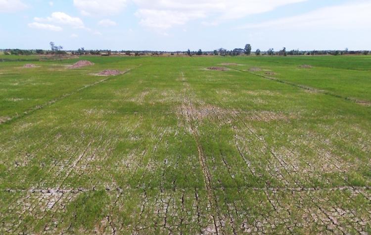 Nhiều cánh đồng lúa ở miền Tây đang nứt nẻ vì thiếu nước. Ảnh: Cửu Long.