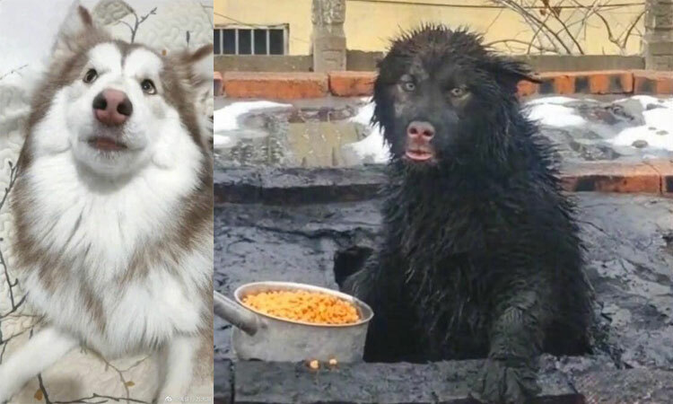 Chó trắng biến thành ''lợn rừng'' sau cú ngã -