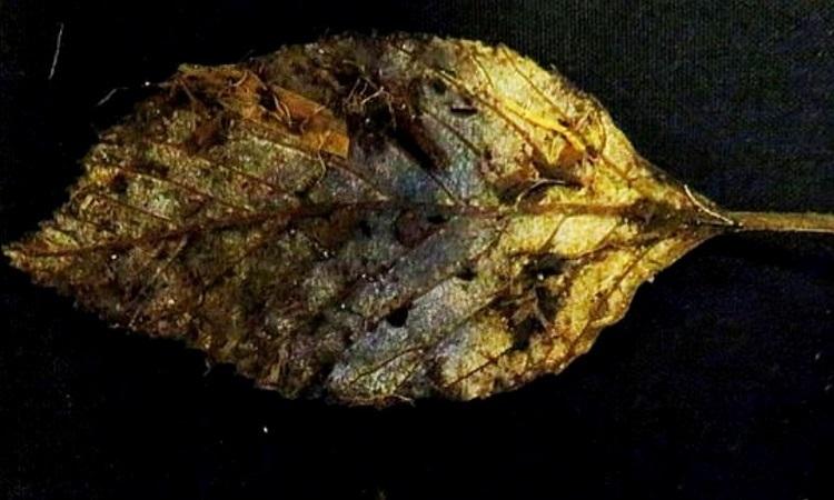 Chiếc lá nguyên vẹn 6.000 năm dưới than bùn -