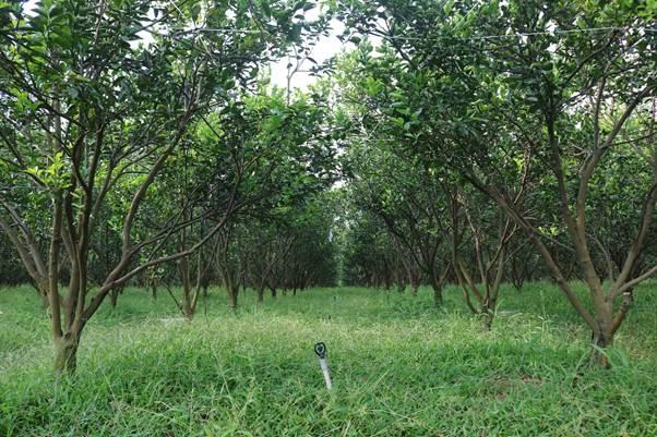 Nhà vườn để cỏ mọc tự nhiên mà không sử dụng thuốc diệt cỏ. Nhờ lớp đất tơi xốp canh tác trong 3 năm liên tục nên cỏ mọc nhanh, cao nhất khoảng 1m. Khi đó, công nhân sẽ cắt bỏ lớp phía trên, còn lại 10 cm cỏ giúp tạo độ ẩm cho đất, cân bằng hệ sinh thái của vườn.