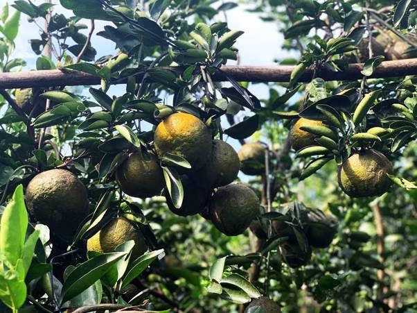 Sau một năm ròng chăm sóc, các cây cam cao 3-4 mét bắt đầu sai trĩu quả. Sào tre dựng ngang thân cây làm bệ đỡ cho chùm cam, chống gãy cành.