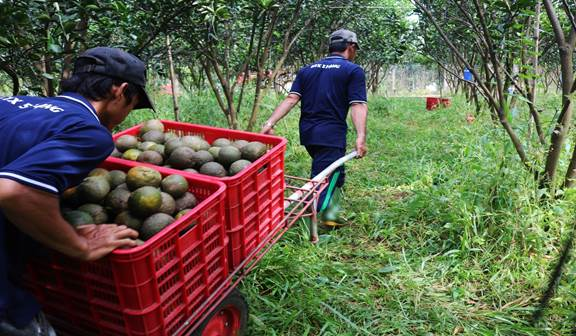 Sau khi thu hoạch, cam được vận chuyển về nhà kho để phân loại, đóng thùng và mang đi tiêu thụ tại khắp các tỉnh miền Nam, tỉnh ngoài Bắc như Hà Nội, Hải Phòng.
