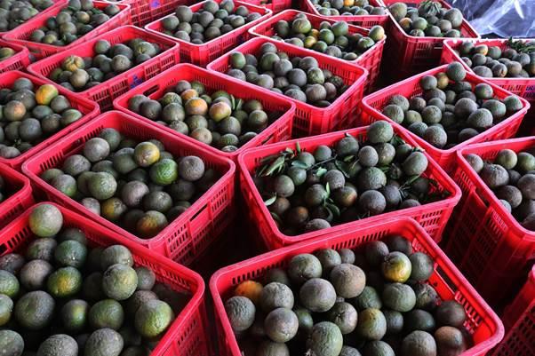 Trung bình, một vụ mùa cam cho sản lượng khoảng 400.000kg với giá 60 - 70.000 đồng/kg  tùy kích cỡ. Tuy nhiên, sản lượng năm nay giảm do thời tiết xấu.