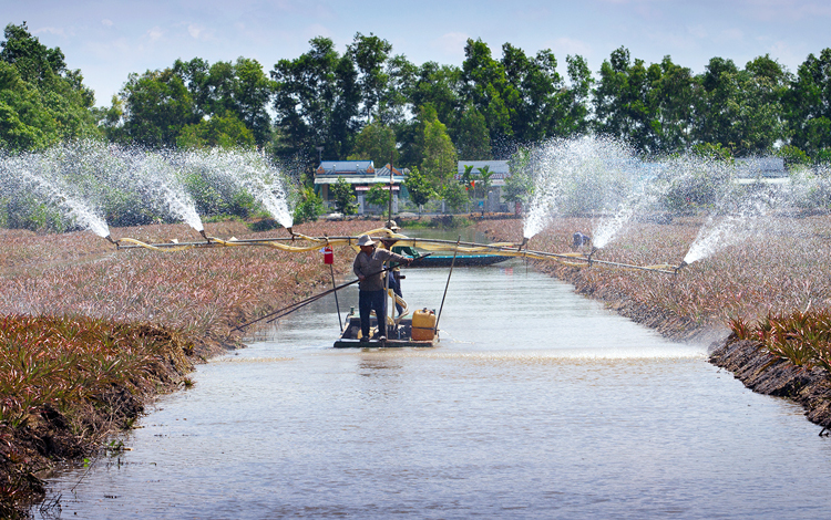 Trữ nước tưới khóm Cầu Đúc tại TP Vị Thanh, tỉnh Hậu Giang. Ảnh: Anh Lam