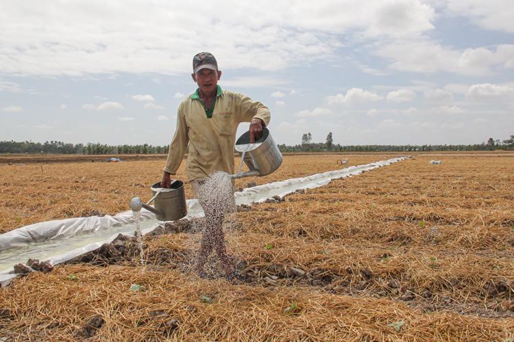 Mùa hạn mặn, ông Lâm Văn On (xã Châu Khánh, huyện Long Phú, Sóc Trăng) bỏ lúa, trồng dưa leo. Để có nước tưới, ông dùng bạt lót ở mặt ruộng rồi bơm nước tướidưa, ông dùng nylon lót dưới mặt ruộng rồi bơm nước ngầm vào. Ảnh: Cửu Long.