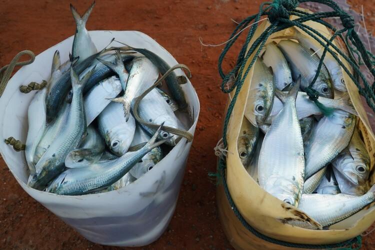 Cá mòi bán tại bến giá từ 17.000 đến 20.000 đồng một ký. Ảnh: Việt Quốc