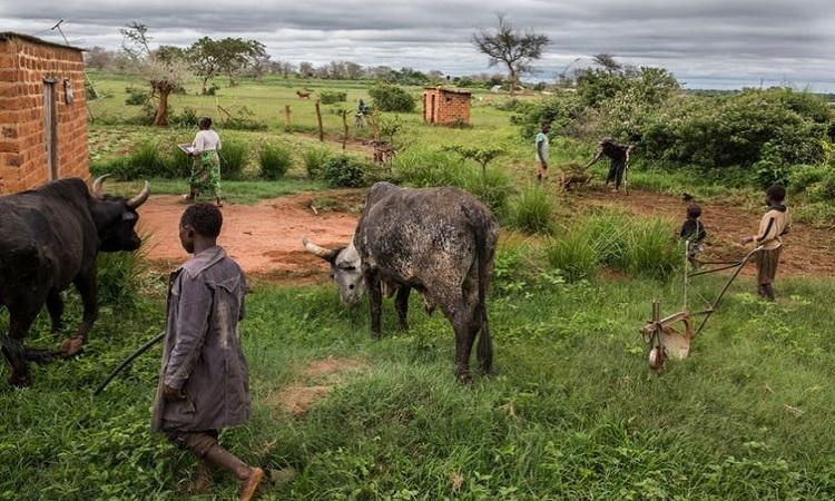 Trang trại chăn nuôi gia súc ở Zambia. Ảnh: AFP.