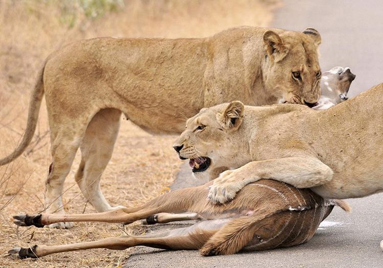 Đôi sư tử hạ gục linh dương kudu trong công viên quốc gia Kruger. Ảnh: Africa Geographic.