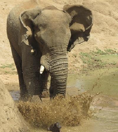 Con voi giận dữ tấn công hà mã non chưa có khả năng tự vệ. Ảnh: Caters News.