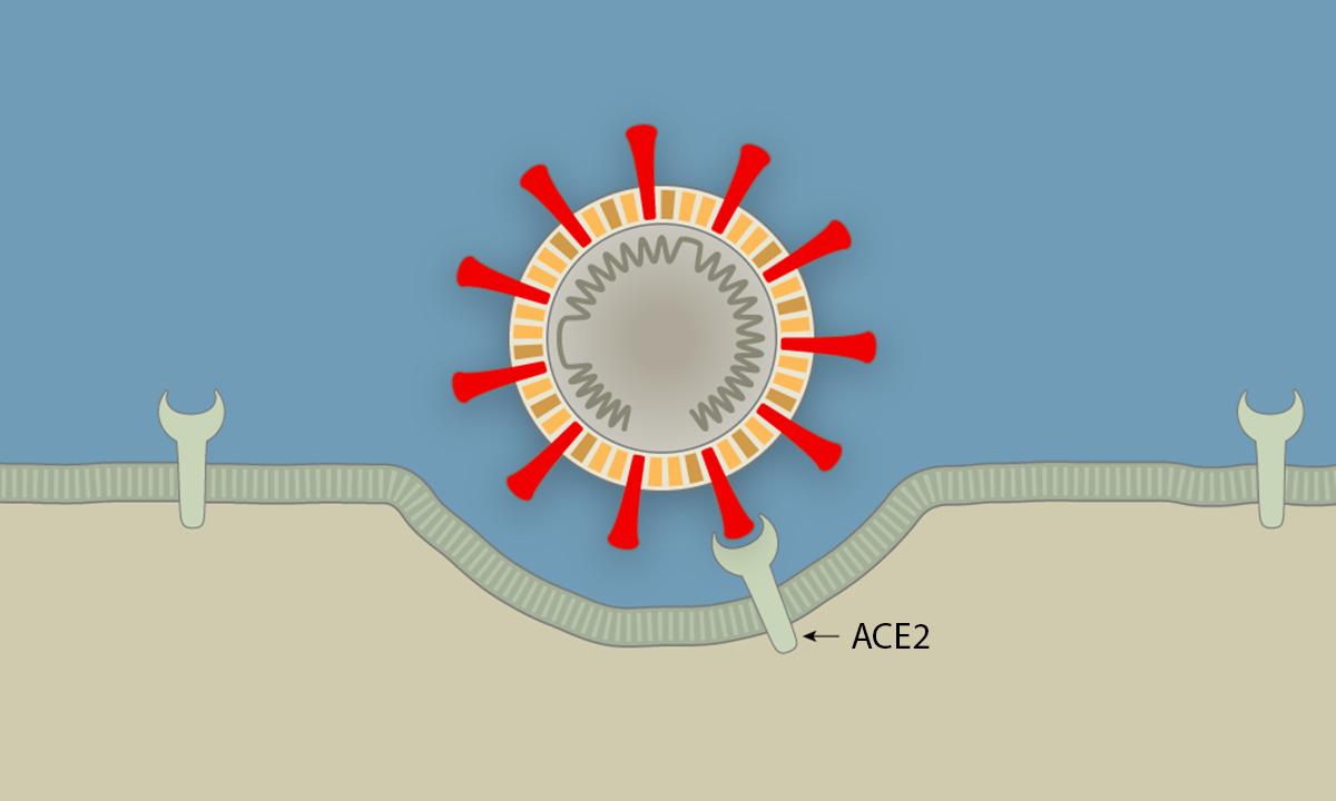 Các bước nCoV tấn công tế bào người
