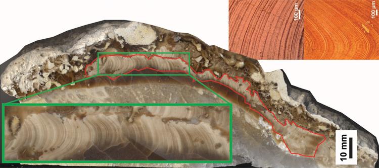 Các vòng sinh trưởng trên vỏ loài nghêu T. sanchezi. Ảnh: Sci-News.