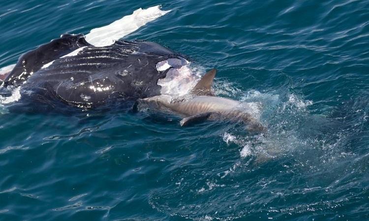 Cá voi lưng gù mất máu vì trúng nhiều nhát cắn của cá mập trắng. Ảnh: Forbes.