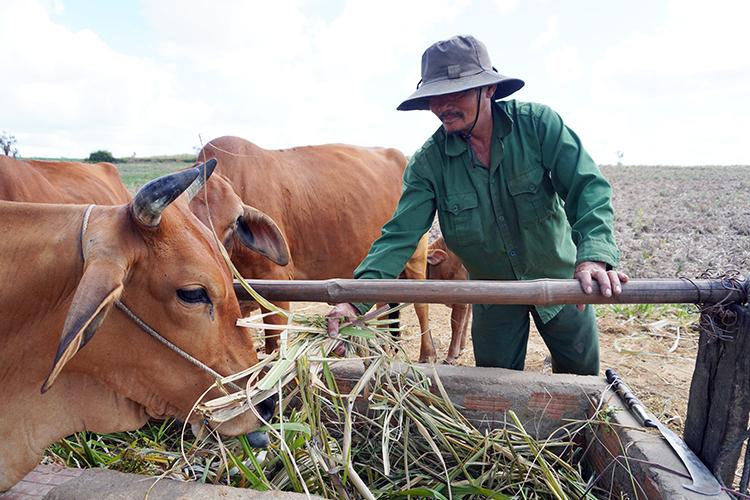 Ông Sỹ chặt những cây mía không lớn nổi do hạn hán về cho đàn bò ăn. Ảnh: Trần Hóa.