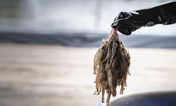 Công ty Shiok Meats sẽ dùng thịt tôm nuôi cấy từ tế bào gốc để sản xuất bánh bao. Ảnh: SCMP.