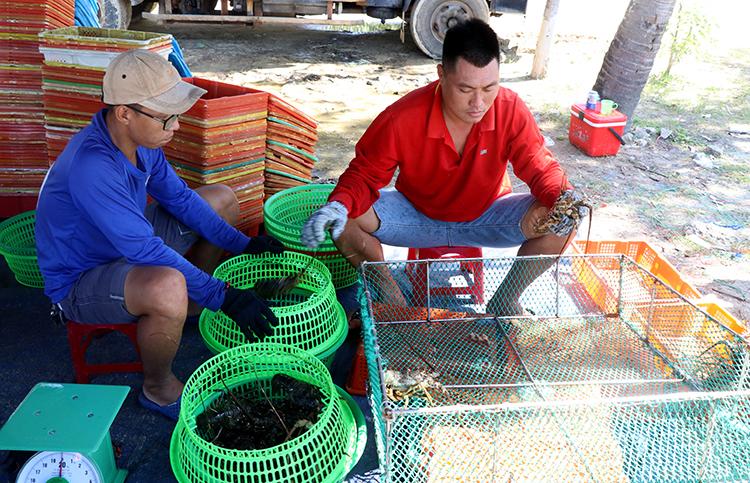 Người dân ở thị xã Sông Cầu, Phú Yên phân loại tôm hùm bán thương lái. Duy Khôi.