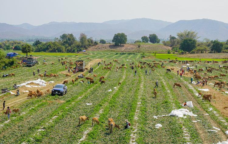 Vườn dưa vừa thu hoạch xong, đàn bò tràn vào đồng ăn rạ. Ảnh: Ngọc Oanh.
