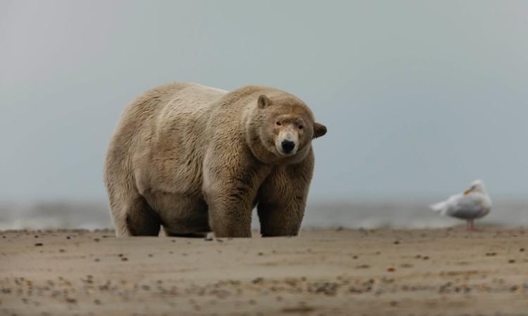 Gấu Bắc Cực béo ú