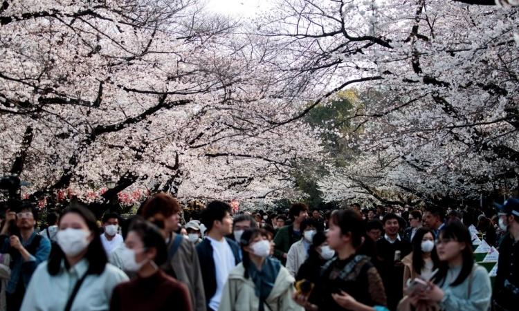 Người Nhật quên Covid-19 giữa mùa hoa anh đào - ảnh 1