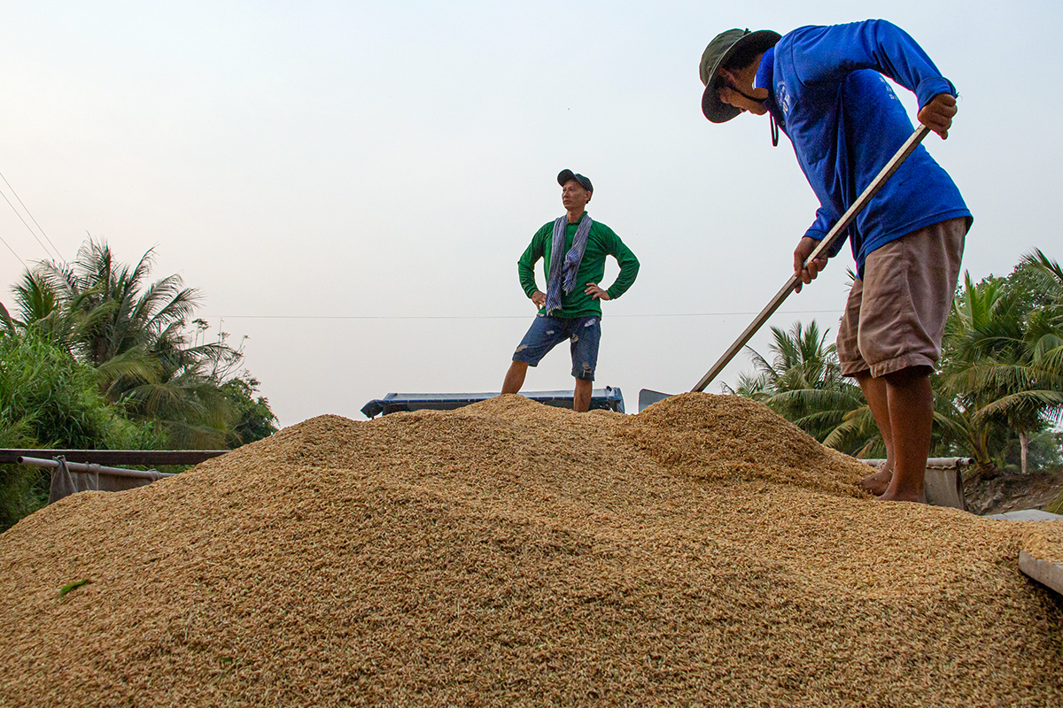 Miền Tây đối mặt ùn ứ lúa gạo - ảnh 1