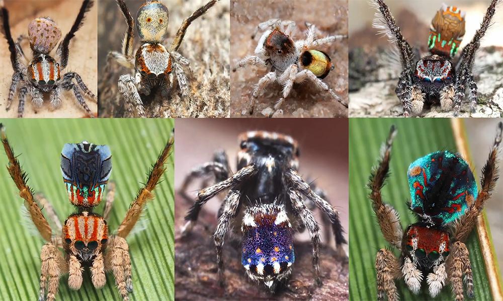 Phát hiện 7 loài nhện chim công mới -