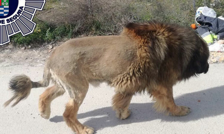 Người dân báo có sư tử sổng chuồng, cảnh sát bất ngờ khi thấy thủ phạm