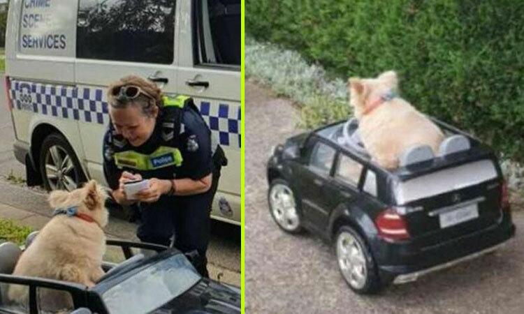 Cún cưng bị cảnh sát bắt giữ vì lái Mercedes phóng trên lề đường