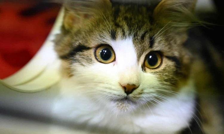 Mèo dễ bị nCoV tấn công. Ảnh: AFP.